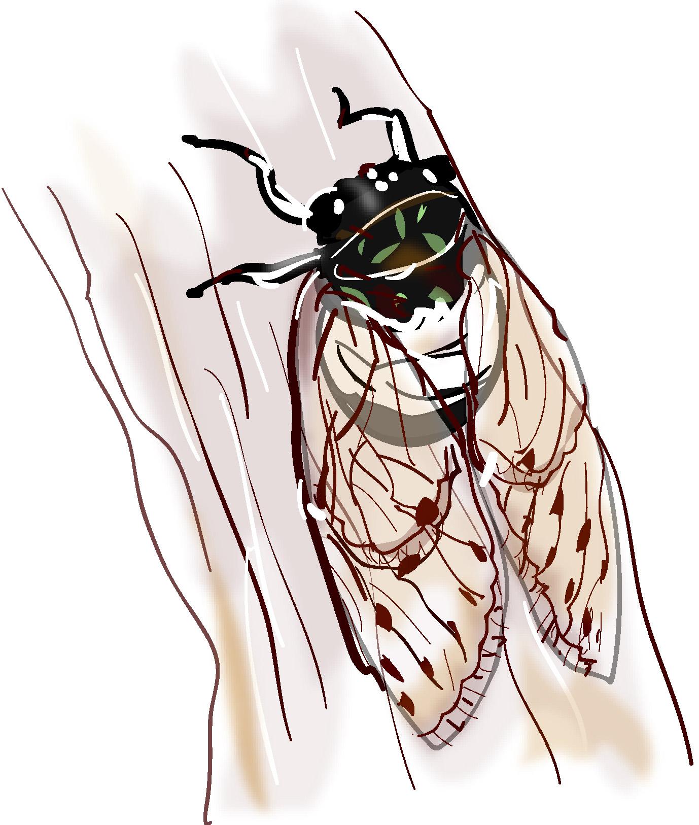 蝉のイラスト素材ダウンロード