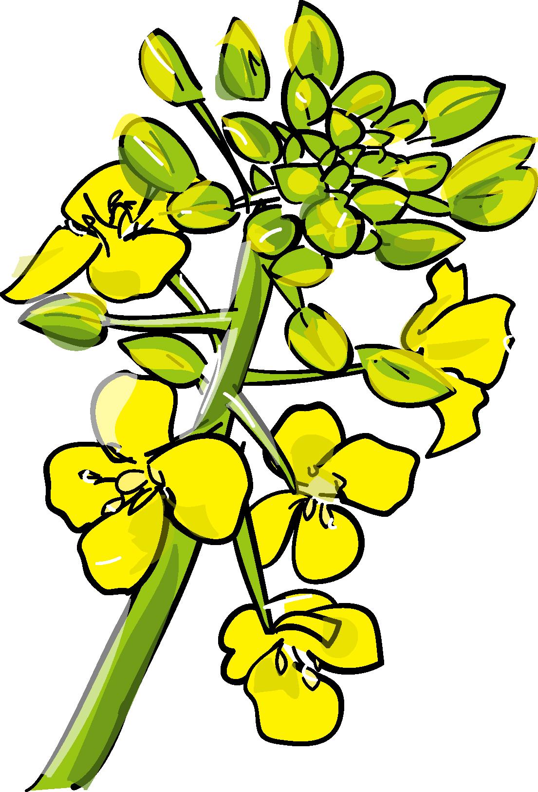 無料イラスト素材・カット素材「菜の花」ダウンロード/印刷素材